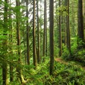 Forest along the Rim Trail.- Silver Falls, Trail of 10 Falls