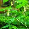 Hooker's fairybells (Disporum hookeri).- Silver Falls, Trail of 10 Falls