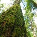 Moss covered Douglas fir (Pseudotsuga menzies).- Silver Falls, Trail of 10 Falls