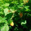 Salmonberry (Rubus spectabilis).- Silver Falls, Trail of 10 Falls