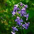 Poison delphinium (Delphinium trolliifolium).- Silver Falls, Trail of 10 Falls