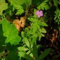 Herb Robert geranium (Robertianum).- Silver Falls, Trail of 10 Falls