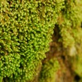 Unidentified moss species (help us identify it by providing feedback).- Siouxon Creek Hike