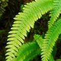 Deer fern (Blechnum spicant).- Siouxon Creek Hike