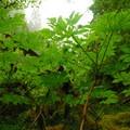 Devil's club (Oplopanax horridus).- Siouxon Creek Hike