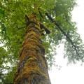 Giant black cottonwood (Populus balsamifera).- Siouxon Creek Hike