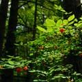 Red huckleberry (Vaccinium parvifolium).- Moulton Falls