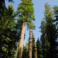 "The ""tall tree,"" Douglas fir (Pseudotsuga menzies).- Tall Tree Campsites"
