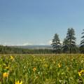 A wildflower meadow on the prairie's southwestern edge, composed mostly of mule's ear (Wyethia amplexicaulis).- Big Summit Prairie