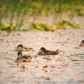 Redheads (Aythya americana).- Hosmer Lake Canoe/Kayak