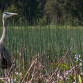 Great blue heron (Ardea herodias).- Hosmer Lake Canoe/Kayak