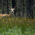 Black-tailed deer (Odocoileus hemionus).- Sparks Lake