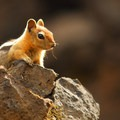 Golden-mantled ground squirrel (Callospermophilus lateralis).- Sparks Lake