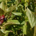Twin blackberry (Lonicera involucrata).- Devils Lake