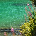 Fireweed (Chamerion angustifolium).- Devils Lake