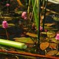 Water smartweed (Polygonum amphibium).- Lava Lake