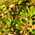 Pinemat manzanita (Arctostaphylos nevadensis).- Tumalo Falls + Creek Hike