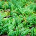 Deer fern (Blechnum spicant).- Clackamas River Trail