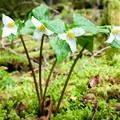 Western trillium (Trillium ovatum).- Clackamas River Trail