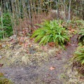The subtle trail that forks off to Pup Creek Falls.- Clackamas River Trail