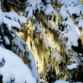 Sunlight streaming through Spanish moss.- Teacup Lake Sno-Park