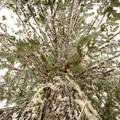 Western red cedar.- Crosstown Ski + Snowshoe Trail