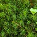 Twisted ulota moss (Ulota obtusiuscula).- Tillamook Head Hike