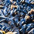 Blue mussels (Mytilus edulis).- Indian Beach