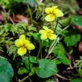 Evergreen violet.- Brice Creek Trail, West Trailhead to Lund Campground Hike
