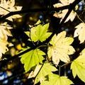 Sunlight streaming through vine maple leaves.- Forest Park, Maple Trail