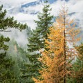 Western larch in a golden hue, before shedding its needles for winter.- Falls Creek Falls