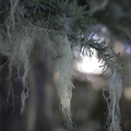 Spanish moss.- Glade Trail