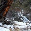 A barkless, weathered, ponderosa pine (Pinus ponderosa).- Dry River Canyon Hike