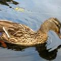 Mallard (Anas platyrhynchos).- Washington Park Arboretum Kayak/Canoe