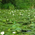 Lily pads everywhere.- Washington Park Arboretum Kayak/Canoe