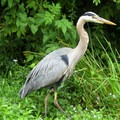 Great blue heron (Ardea herodias).- Washington Park Arboretum Kayak/Canoe