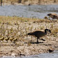 Canada geese (branta canadensis).- Oaks Bottom Hiking Trails