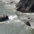 Colony of double-crested cormorants (Phalacrocorax auritus).- Cape Disappointment Lighthouse