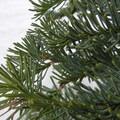 Shasta red fir (Abies magnifica).- Mount Shasta: Avalanche Gulch