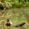 Mallard (Anas platyrhynchos).- Pittock Bird Sanctuary Nature Trail