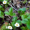 Greenleaf strawberry.- Brice Creek Trail, Champion Creek Trailhead to Lund Campground Hike