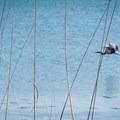 A great blue heron taking off at Henry Hagg Lake.- Henry Hagg Lake Canoe/Kayak