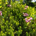 Pink mountain heather (Phyllodoce empetriformis).- Dewey + Anderson Lakes