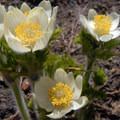 Western pasque flower (Anemone occidentalis).- Tipsoo Lake + Naches Peak Loop Trail