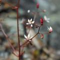 Rusty saxifrage (Saxifraga ferruginea).- Tipsoo Lake + Naches Peak Loop Trail