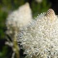 Bear grass (Xerophyllum tenax).- Tipsoo Lake + Naches Peak Loop Trail
