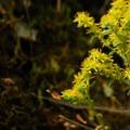 A variety of stonecrop (Sedum).- Cabin Creek Campsites