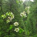 Pacific dogwood (Cornus nuttallii).- McCloud River Three Falls Hike