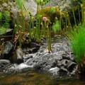 Banks of the McCloud River skattered with umbrella plant (Darmera peltata).- McCloud River Three Falls Hike