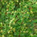 Bitterbrush (Purshia tridentata), also referred to as antelope-brush.- McCloud River Three Falls Hike
